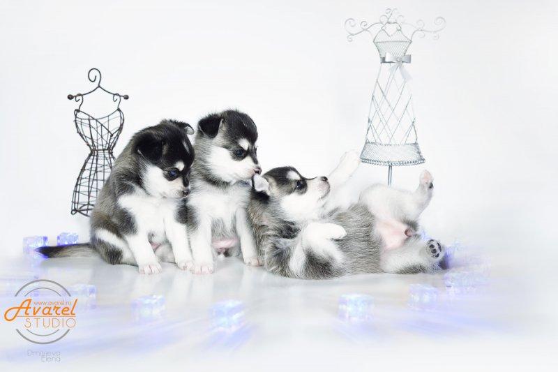AKK puppies